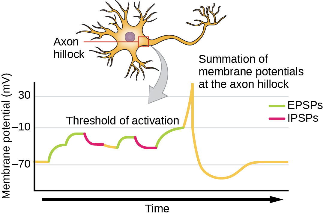 Illustration shows the location of the axon hillock, which is the area connecting the neuron body to the axon. A graph shows the summation of membrane potentials at the axon hillock, plotted as membrane potential in millivolts versus time. Initially, the membrane potential at the axon hillock is minus 70 millivolts. A series of E P S Ps and I P S Ps cause the potential to rise and fall. Eventually, the potential increases to the threshold of excitation. At this point the nerve fires, resulting in a sharp increase in membrane potential, followed by a rapid decrease. The hillock becomes hyperpolarized such that the membrane potential is lower than the resting potential. The hillock then gradually returns to the resting potential.