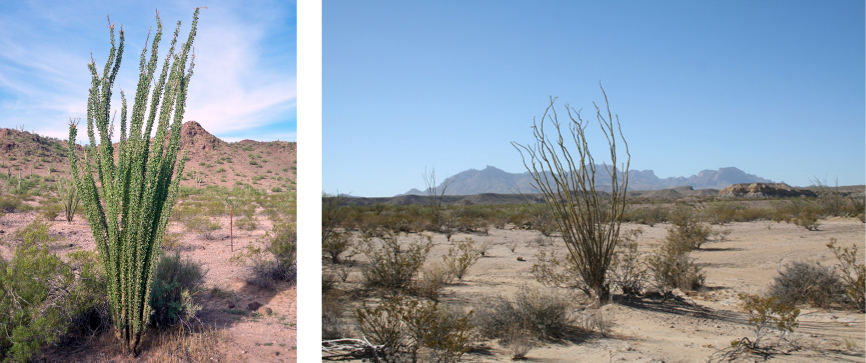 Two photos depict a sandy desert dotted with scrubby bushes. An ocotillo plant dominates the pictures. It has long, thin unbranched stems that grow straight up from the base of the plant and radiate out slightly. In one photo, the plant has many small leaves growing directly from the thin stems, nearly obscuring them. In the other photo, the plant has no leaves.