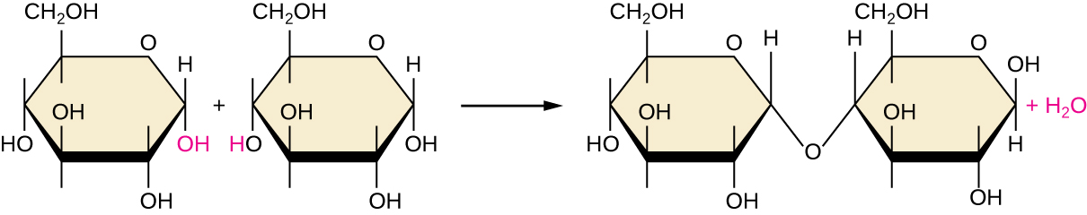 A diagram showing dehydration synthesis. On the left are two glucose molecules. The OH attached to carbon 1 in the first molecule is red; as is the H attached to the O on carbon 4 in the second molecule. An arrow indicates points to a new molecule that is missing the red OH and H from the previous image. In their place, the O that was attached to the H on carbon 4 is now also attached to carbon 1 of the other molecule.