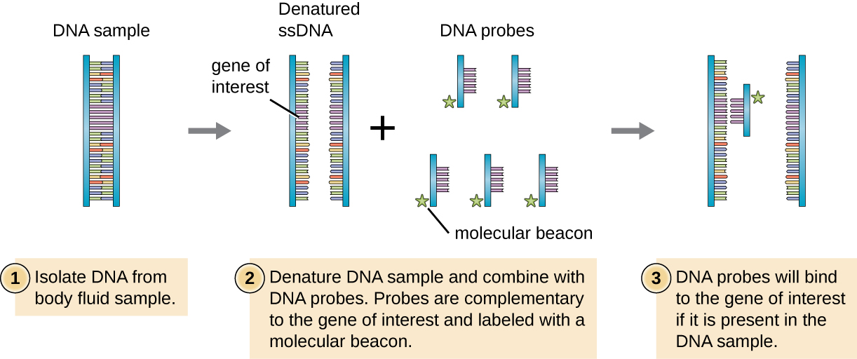 A diagram of DNA probe. First a gene of interest is identified and cloned. Then single stranded probes are labeled with a molecular beacon. Finally, the DNA probe binds to complementary sequences in a DNA sample. The complementary sequences are single stranded DNA. The probe only attaches to one of the ssDNA sequences since it has the gene of interest in it