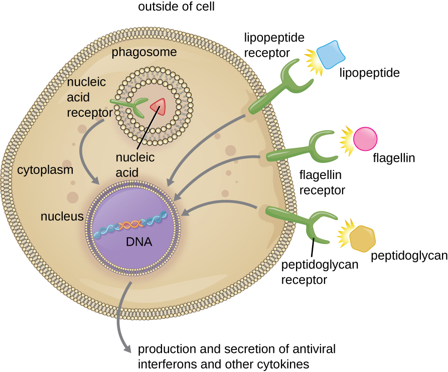 A cell with three receptors. The lipopeptide receptor binds lipopeptides; the flagelin receptor binds flagelin and the peptidoglycan receptor binds peptidoglycans. A fourth receptor (the nucleic acid receptor which binds to nucleic acids) is found on the membrane of the phagosome. All four receptors have an arrow pointing to the nucleus which contains DNA. An arrow pointing out reads: production and secretion of antiviral interferons and other cytokines.