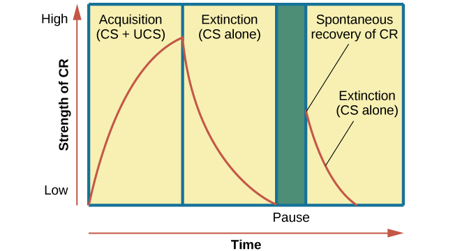 "A chart has an x-axis labeled ""time"" and a y-axis labeled ""strength of CR;"" there are four columns of graphed data. The first column is labeled ""acquisition (CS + UCS) and the line rises steeply from the bottom to the top. The second column is labeled ""Extinction (CS alone)"" and the line drops rapidly from the top to the bottom. The third column is labeled ""Pause"" and has no line. The fourth column has a line that begins midway and drops sharply to the bottom. At the point where the line begins, it is labeled ""Spontaneous recovery of CR""; the halfway point on the line is labeled ""Extinction (CS alone)."""