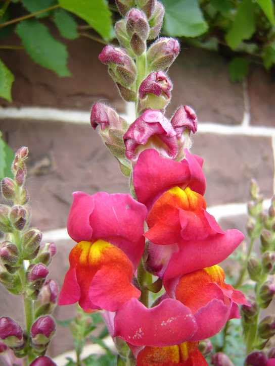 Photo is of a snapdragon with a pink flower.