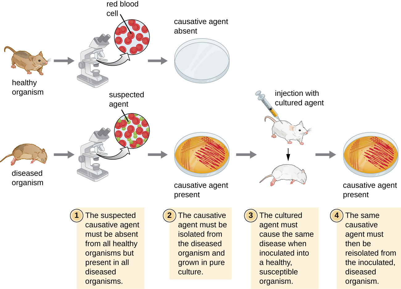 A diagram Koch's postulates. 1 – The suspected causative agent must be absent from all healthy organisms but present in all diseased organisms. This is demonstrated by looking at slides under a microscope from a sick mouse and seeing the suspected agent. A slide from a healthy mouse only shows healthy red blood cells. 2 – The causative agent must be isolated from the diseased organism and grown in pure culture. This is demonstrated by showing grown on a petri plate from the sick mouse and no growth from the healthy mouse.  3 – The cultured agend must cause the same disease when inoculated into a healthy, susceptible organism. This is demonstrated by injecting a healthy mouse with the cultured agent and having that mouse get sick. 4 – The same causative agent must then be reisolated from the inoculated diseased organism. This is demonstrated by a petri plate from this last mouse showing growth of the causative agent.