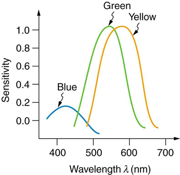 A line graph of sensitivity on y axis and wavelength on x axis is shown. The graph depicts three skewed curves, representing three types of cones and each type is sensitive to different ranges of wavelengths. The range of wavelength is between three hundred and fifty to seven hundred nanometers. For blue range, the curve peaks at four hundred and twenty nanometers and sensitivity is zero point two. For green range, the curve peaks at five hundred and twenty nanometers and the sensitivity is shown to be one point zero. For yellow range, the curve peaks at five hundred and ninety nanometers and sensitivity is at one point zero.