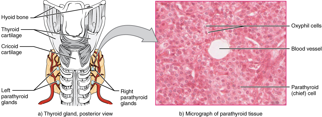 17 5 The Parathyroid Glands Anatomy And Physiology Openstax