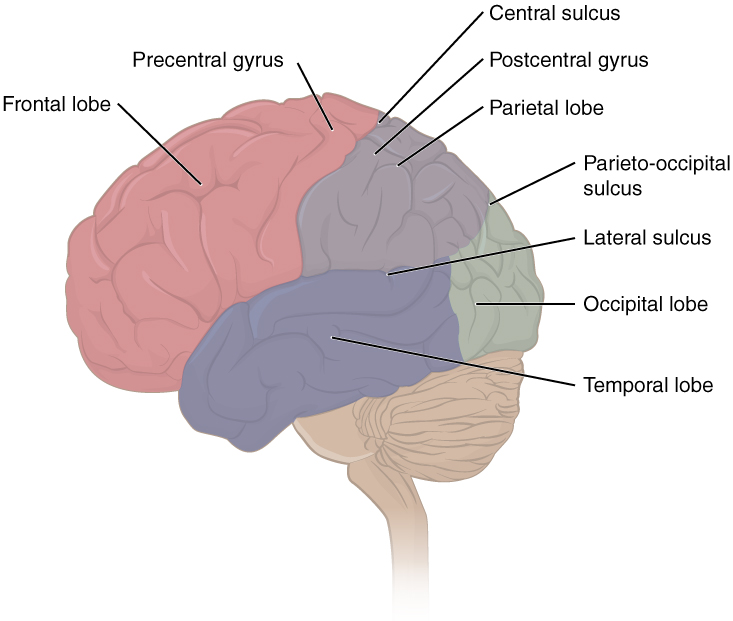 This figure shows the lateral view of the brain and the major lobes are labeled.