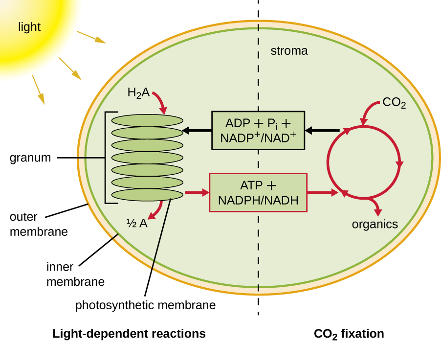 Diagram of photosynthesis showing a chloroplast divided into the light-dependent reactions and CO2 fixation. There is an outer membrane, an inner membrane and a stack of membranes labeled granum (these are photosynthetic membranes). Light strikes the granum and H2A is converted to ½ A. This process produces ATP + NADPH/NADH that is used in the CO2 fixation cycle. This cycle uses CO2 to produce organics. The CO2 cycle also produces ADP + Pi and NADP+ / NAD+ which are then used in the light-dependent reaction.