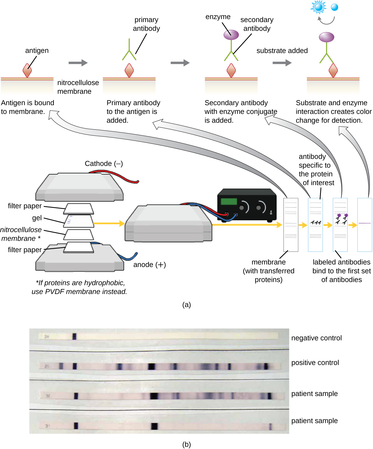 (a) A diagram showing the process of a western blot. Step 1 – a gel is on top of a nitrocellulose membrane and filter paper is on either side. This is all sandwiched between positive and negative plates. If the proteins are hydrophobic use PVDF membrane instead of nitrocellulose. This causes the proteins to bind to the membrane. At this point there are many protein bands.  Then antibodies specific to the protein on interest are added. They bind to one of the protein bands on the membrane. Next labeled antibodies bidn to the first set of antibodies. This results in a single visible band. (b) A photo of the results shows dark bands on a white membrane.