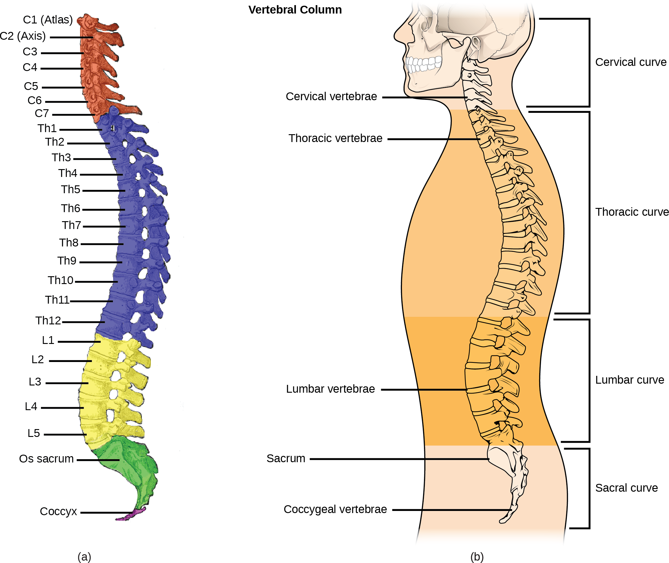 Illustration A shows all the vertebrae in a vertebral column. Illustration B shows that different sections of vertebrae curve in different directions. The cervical vertebrae in the neck curve toward the front of the body. The top cervical vertebrae is called the atlas, or c 1.  The next bone down is the c 2, or axis.  There are 7 cerebral vertebrae.  Next are the thoracic vertebrae, which extend from the neck to the bottom of the rib cage, curve toward the back of the body.  These are labeled as T h 1, which is the first thoracic vertebrae below the cervicals, to t h 12, which is the lowest of the thoracic vertebrae.  Next are the lumbar vertebrae, which extend to the bottom of the back, curve toward the front again. These lumbar vertebrae are labeled L 1, which is the next vertebrae below the thoracics, thorugh L 5, which is the lowest lumbar vertebrae.  The sacrum and the coccygeal vertebrae make up the sacral curve that curves toward the back.  The sacrum is above the coccyx.