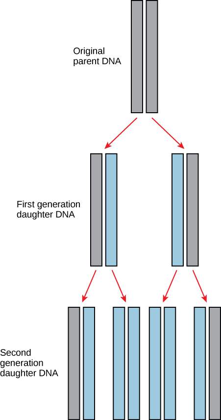 The figure shows pairs of rectangular blocks that represent DNA. From top to bottom, a pair of gray rectangles are labelled Original parent's DNA. Two downward pointing arrows connect to two more pairs of rectangles labelled First generation daughter DNA. From left to right, the left pair contains a gray rectangle and a blue rectangle. The pair on the right has a blue rectangle and a gray rectangle.  Both pairs have two arrows that point to two new pairs, for a total of four pairs. These four pairs are labelled second generation daughter DNA. From left to right, the pairs are:  gray rectangle and blue rectangle, two blue rectangles, two blue rectangles, and a blue rectangle and a gray rectangle.