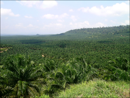 Photo shows rolling hills covered with short, bushy oil palm trees.