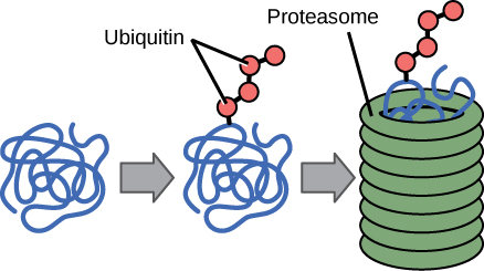 Multiple ubiquitin groups bind to a protein. The tagged protein is then fed into the hollow tube of a proteasome. The proteasome degrades the protein.