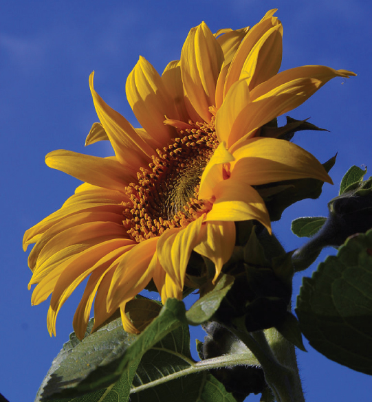 Photograph of a bright orange-yellow sunflower with a broad face and green leaves against a blue sky.