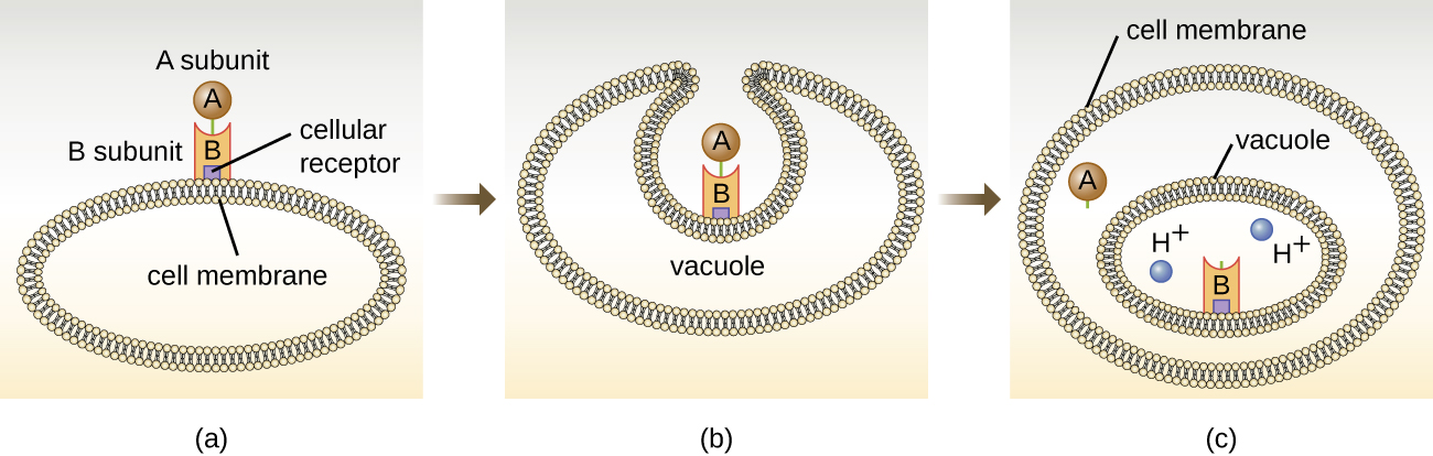 a) Diagram of how the A-B toxin works. The B subunit binds to a cellular receptor on the cell membrane. The A subunit is bound to the B subunit at this point. The cell engulfs the toxins into a vacuole. Inside the vacuole, which is acidic, the a subunit dissociates and escapes into the cytoplasm