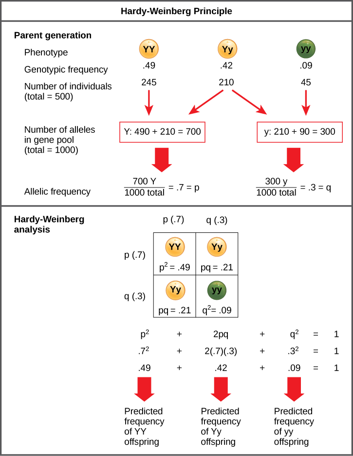 The Hardy–Weinberg principle is used to predict the genotypic distribution of offspring in a given population. In the example given, pea plants have two different alleles for pea color. The dominant capital Y allele results in yellow pea color, and the recessive small y allele results in green pea color. The distribution of individuals in a population of 500 is given. Of the 500 individuals, 245 are homozygous dominant (capital Y capital Y) and produce yellow peas. 210 are heterozygous (capital Y small y) and also produce yellow peas. 45 are homozygous recessive (small y small y) and produce green peas. The frequencies of homozygous dominant, heterozygous, and homozygous recessive individuals are 0.49, 0.42, and 0.09, respectively.  Each of the 500 individuals provides two alleles to the gene pool, or 1000 total. The 245 homozygous dominant individuals provide two capital Y alleles to the gene pool, or 490 total. The 210 heterozygous individuals provide 210 capital Y and 210 small y alleles to the gene pool. The 45 homozygous recessive individuals provide two small y alleles to the gene pool, or 90 total. The number of capital Y alleles is 490 from homozygous dominant individuals plus 210 from homozygous recessive individuals, or 700 total. The number of small y alleles is 210 from heterozygous individuals plus 90 from homozygous recessive individuals, or 300 total.  The allelic frequency is calculated by dividing the number of each allele by the total number of alleles in the gene pool. For the capital Y allele, the allelic frequency is 700 divided by 1000, or 0.7; this allelic frequency is called p. For the small y allele the allelic frequency is 300 divided by 1000, or 0.3; the allelic frequency is called q.  Hardy–Weinberg analysis is used to determine the genotypic frequency in the offspring. The Hardy-Wienberg equation is p-squared plus 2pq plus q-squared equals 1. For the population given, the frequency is 0.7-squared plus 2 times .7 times .3 plus .3-squared equals one. The value for p-squared, 0.49, is the predicted frequency of homozygous dominant (capital Y capital Y) individuals. The value for 2pq, 0.42, is the predicted frequency of heterozygous (capital Y small y) individuals. The value for q-squared, .09, is the predicted frequency of homozygous recessive individuals. Note that the predicted frequency of genotypes in the offspring is the same as the frequency of genotypes in the parent population. If all the genotypic frequencies, .49 plus .42 plus .09, are added together, the result is one