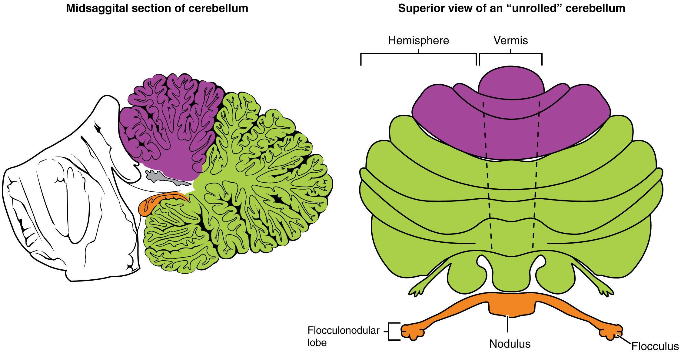 The left panel of this figure shows the midsagittal section of the cerebellum, and the right panel shows the superior view. In both panels, the major parts are labeled.