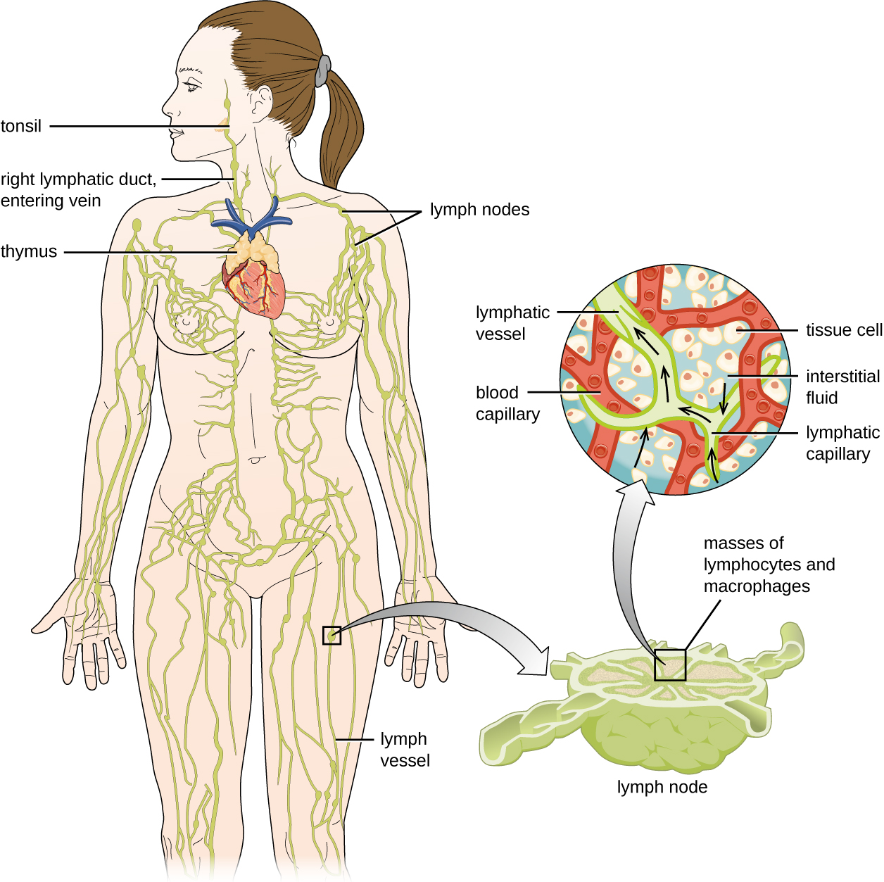 "Diagram of the lymphatic system. Lymph notes are swellings on tubes (called lymph vessels) that travel throughout the body. The right lymphatic duct and entering vein are in the neck. A tonsil is a swelling on the lymph vessel in the mouth. The thymus is a lumpy structure on the heart. A close-up of a lymph node shows a roundish structure with many tubes attached to it. The central area has a box labeled ""masses of lymphocytes and macrophages"". A close-up of this area shows tissue cells in the background with a blood capillary network. Lymph vessels run between the  blood capillary network. Lymphatic capillaries are the ends of the lymph vessels. Fluid from around the cells (called interstitial fluid) enters the lymphatic capillaries and travels through the lymphatic vessels."