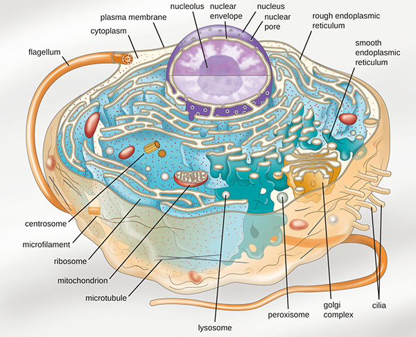 A diagram of a large cell. The outside of the cell is a thin line labeled plasma membrane. A long projection outside of the plasma membrane is labeled flagellum. Shorter projections outside the membrane are labeled cilia. Just under the plasma membrane are lines labeled microtubules and microfilaments. The fluid inside the plasma membrane is labeled cytoplasm. In the cytoplasm are small dots labeled ribosomes. These dots are either floating in the cytoplasm or attached to a webbed membrane labeled rough endoplasmic reticulum. Some regions of the webbed membrane do not have dots; these regions of the membrane are called smooth endoplasmic reticulum. Other structures in the cytoplasm include an oval with a webbed line inside of it; this is labeled the mitochondrion. Spheres in the cytoplasm are labeled peroxisome and lysosome. A pancake stack of membranes is labeled golgi complex. Two short tubes are labeled centrosomes. A large sphere in the cell is labeled nucleus. The outer membrane of this sphere is the nuclear envelope. Holes in the nuclear envelope are called nuclear pores. A smaller sphere in the nucleus is labeled nucleolus.