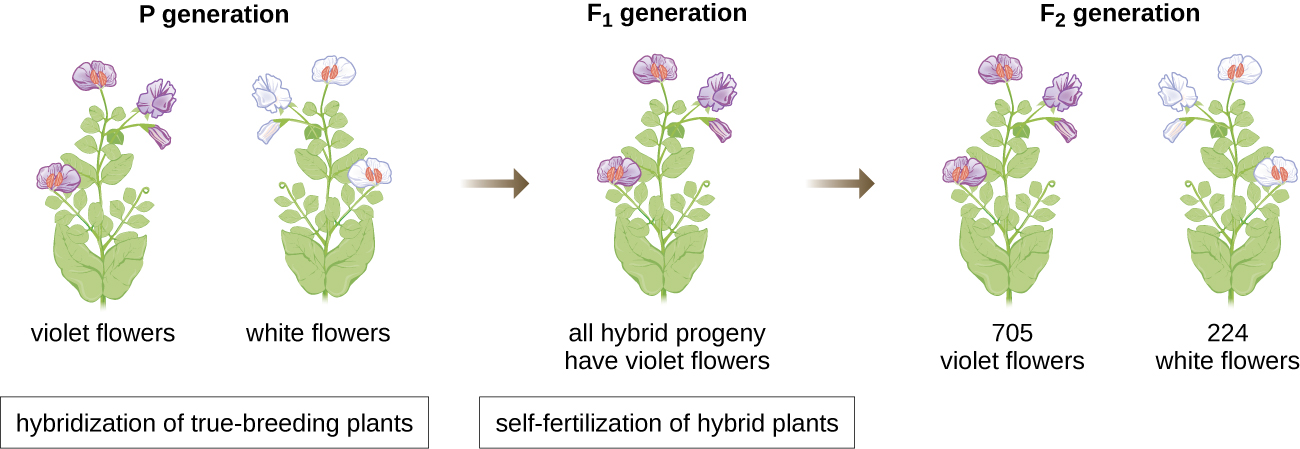 Diagram of  flower genetics. In the P generation are violet flowers and white flowers. Hybridization of true-breeding plants produces the F1 generation which has all hybrid progeny and violet flowers. Self-fertilization of hybrid plants produces the F2 generation which has 705 violet flowers and 224 white flowers.