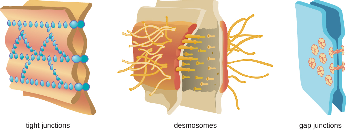 Tight junctions – two membranes connected with many spot welds in multiple lines. Desmosomes – two membranes with long strands weaving them together. Gap junctions – two membranes with a few spot welds each of which has a pore in the center.