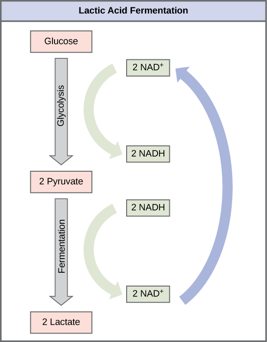 A graphic shows glucose undergoing glycolysis to become two pyruvate molecules, which then undergo fermentation to become two lactate molecules. During glycolysis, two NAD+ are converted into two high-energy NADH molecules, but during fermentation, these two NADH molecules are reoxidized to become two NAD+ again. NAD+ can then be used in glycolysis.