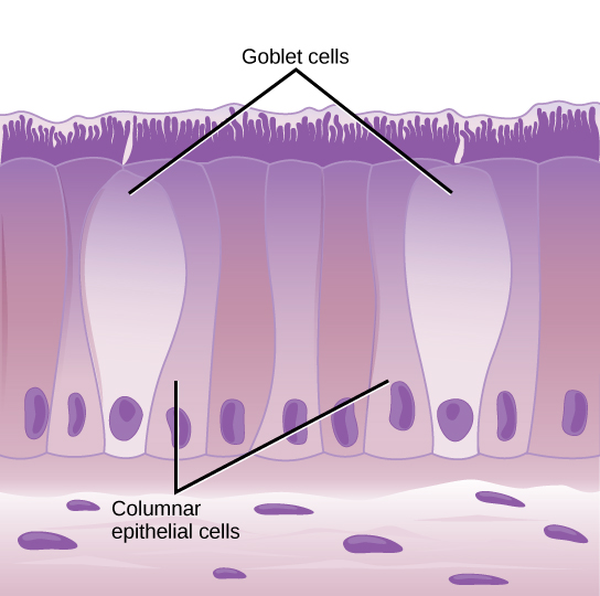 Illustration shows tall, columnar cells arranged side-by-side. Each cell has a nucleus located near the bottom, and cilia extending from the top. Two oval goblet cells are interspersed among the columnar epithelial cells. The goblet cells, which are shorter than the columnar cells, are in direct contact with the intestinal lumen. Beneath the columnar cells is a layer of horizontal cells.