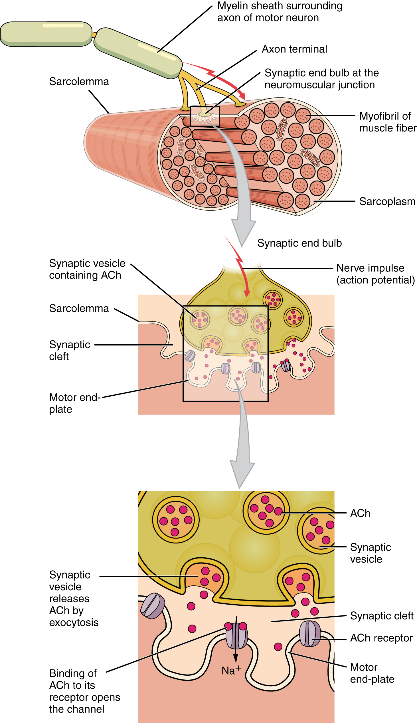 Skeletal Muscle Anatomy And Physiology OpenStax